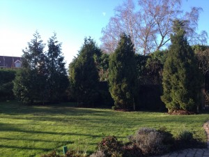 conifers planted English Hedging screening