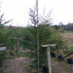 Green Leylandii hedge for instant impact hedging 2.25-2.5m tall 11 litre pot