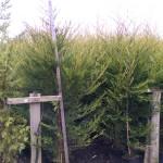 Castlewellan Gold Leylandii hedging plant for instant impact hedge 2-2.25m tall 11 litre pot