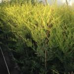 Gold Leylandii 1.5m+ cheap hedging