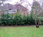 Green Leylandii 12'-14' tall instant hedge 4m tall