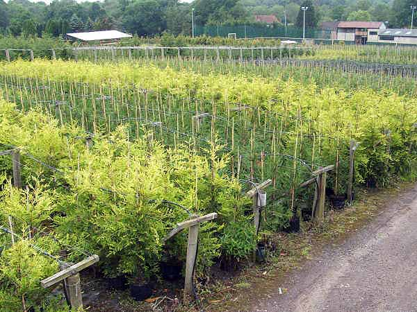 Green and Gold Leylandii Hedges