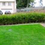 7'-8' Gold Leylandii hedging
