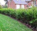 Gold Leylandii 7'-8' tall hedging
